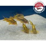 Corydoras CW10 Gold Laser Set x10