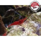 Cardinal Shrimp