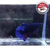 Betta HMPK Blue Red