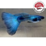 Guppy Blue Moscow 5 Buc