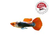 Guppy Japan Blue Lyretail Linie Pura