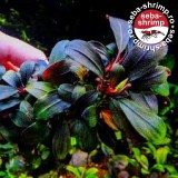 Bucefalandra sp. Brownie Red