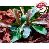Bucefalandra sp. Theia Red