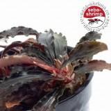Bucefalandra sp. Godzilla